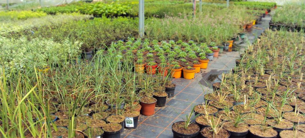 jeunes arbustes et graminées en production dans une serre à Kervignac